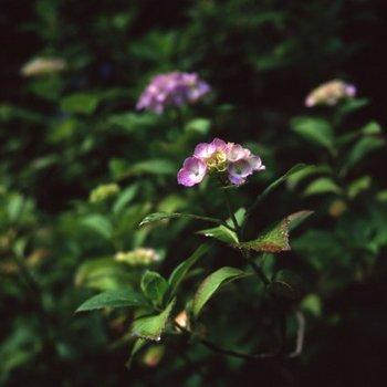 紫陽花T1.jpg