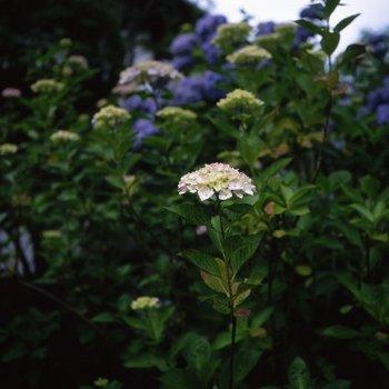紫陽花T2.jpg