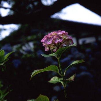 紫陽花T3.jpg