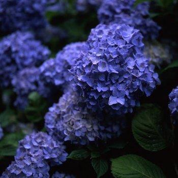 紫陽花T4.jpg