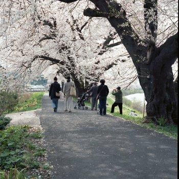 一目千本桜4.jpg