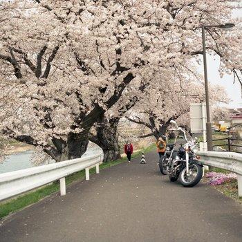 船岡桜.jpg