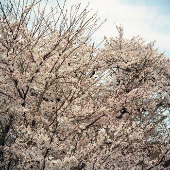 船岡桜1.jpg