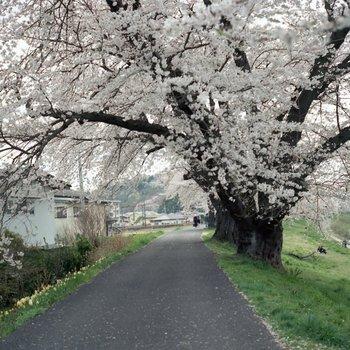 船岡桜2.jpg