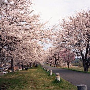 船岡桜7.jpg