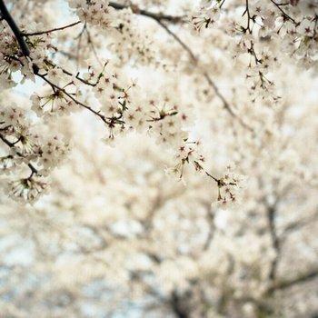 船岡桜8.jpg