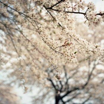船岡桜9.jpg